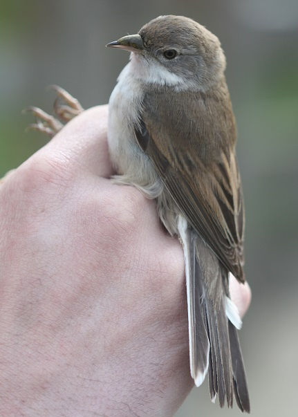 2019_04_23Whitethroat