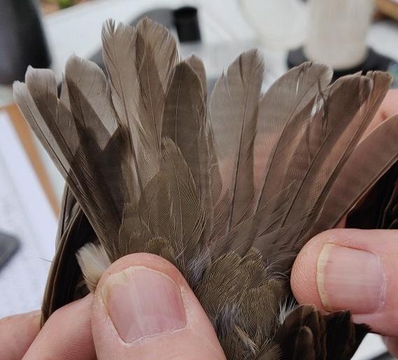 redwing tail